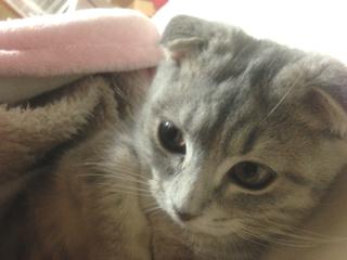 美猫マンチカン