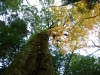 須佐神社の大木