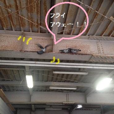 羽ばたくハト1.JPG