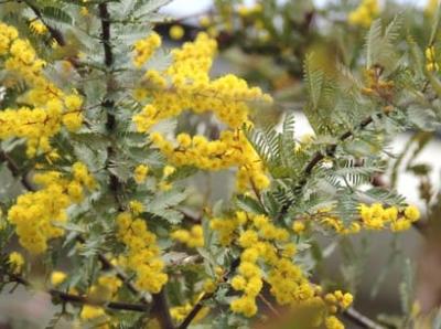 mimoza4.jpg