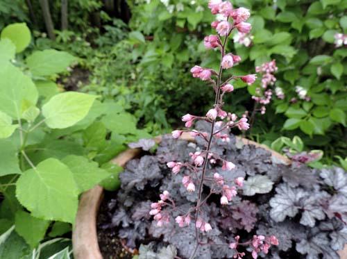 geranium6.jpg