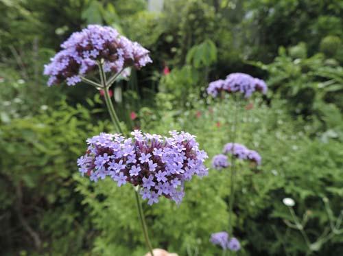 lavender1.jpg