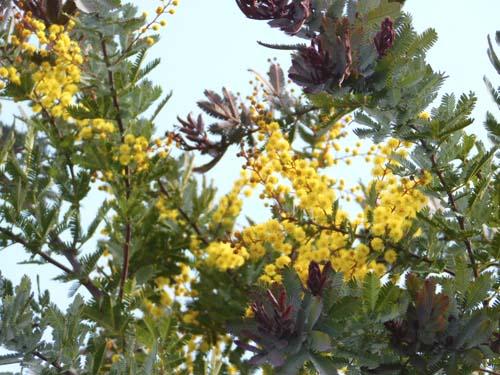 mimoza6.jpg
