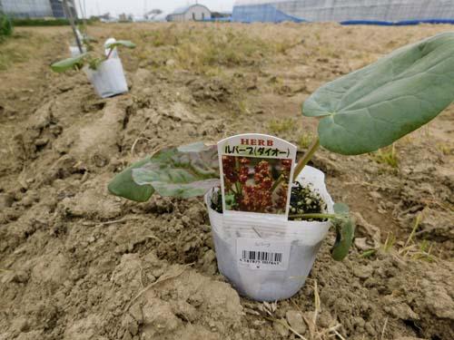rhubarb7.jpg