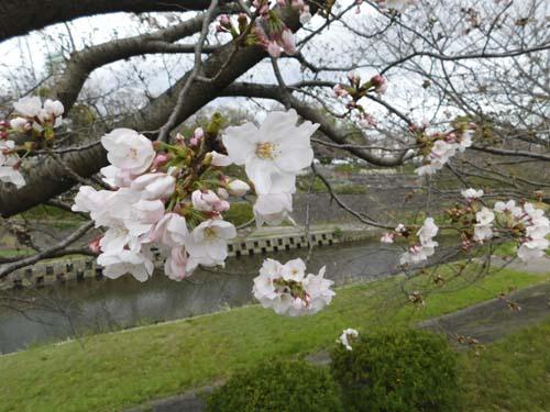 sakuramada1.jpg