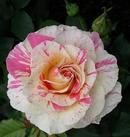 我が家のクロード・モネの薔薇
