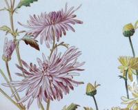イギリスのジョージ・クレッセント、1885年製の「イングランドの菊」という名のディナー皿
