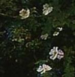 ロサ・アルバ・セミプレナ(ヨークの白い薔薇)