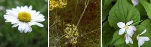 雛菊、茴香(フェンネル)、菫