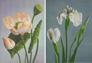 蓮 Plate V. Nelumbium speciosum (Hasu) 小川一眞氏 1895年 「Some Japanese Flowers」,菖蒲 Plate VIII Iris Iaevigata var. Kaempferi (Hana-shobu) 小川一眞氏 1895年 「Some Japanese Flowers」