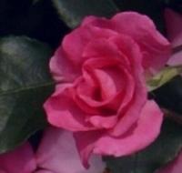La Vie en Rose Kameyama, Yasushi (Japan) 1990 Floribunda