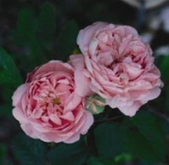 Fantin-Latour Shrub Roses (Old Fashioned and Modern)