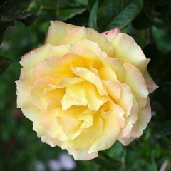 Hybrid Tea Rose Peer Gynt (Rosa)