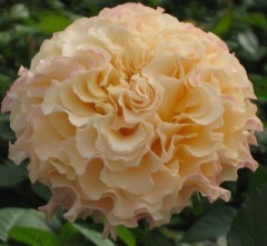 (C)Franko Roses New Zealand Campanella Peach