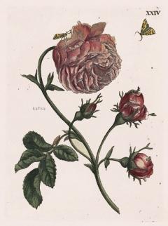 XXIV - Goote Roos - Rosa maxima