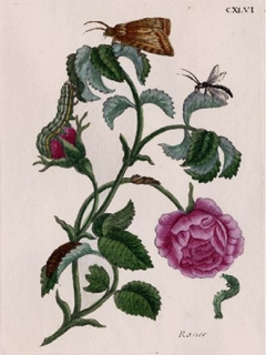 Rose Platte CXLVI