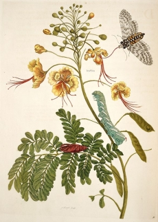 Metamorphosis insectorum Surinamensium 1705