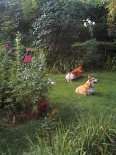 リチャード・w・ブラウン撮影のコーギー犬