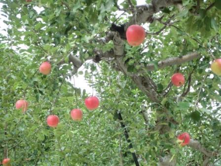 たわわに実ったリンゴ畑を眺めつつ