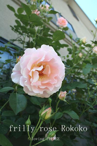 薔薇ロココ
