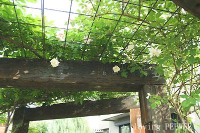 門柱に絡めたバラ