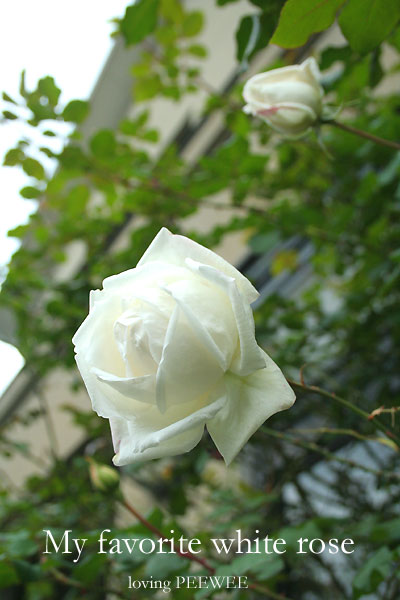 My favorite white rose