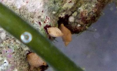 有孔虫/きらら舎