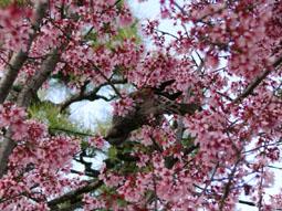 出町柳-オカメ桜とヒヨ