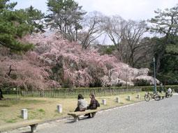 御所・近衛の糸桜_01