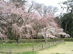 御所・近衛の糸桜_02