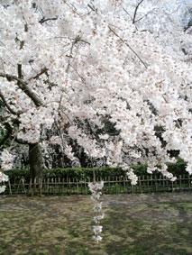 御所・近衛の糸桜_03