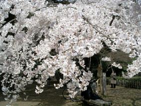 御所・近衛の糸桜_04
