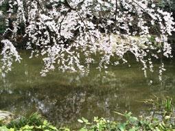 御所・近衛の糸桜_05