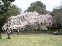 御所・近衛の糸桜_06