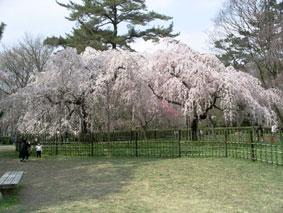 御所・近衛の糸桜_07