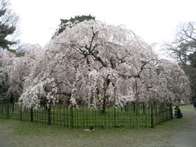 御所・近衛の糸桜_08