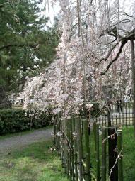 御所・近衛の糸桜_09