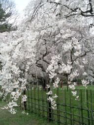 御所・近衛の糸桜_10