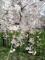 御所・近衛の糸桜_11