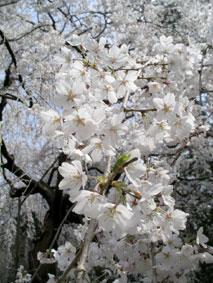 御所・近衛の糸桜_12