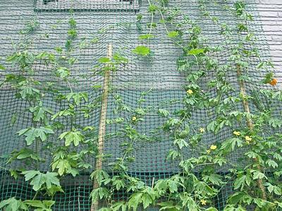 ニガウリの緑のカーテン