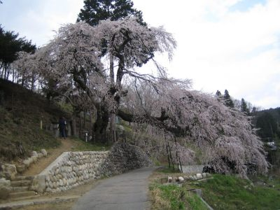 くよとの桜