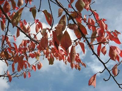 紅葉する桜