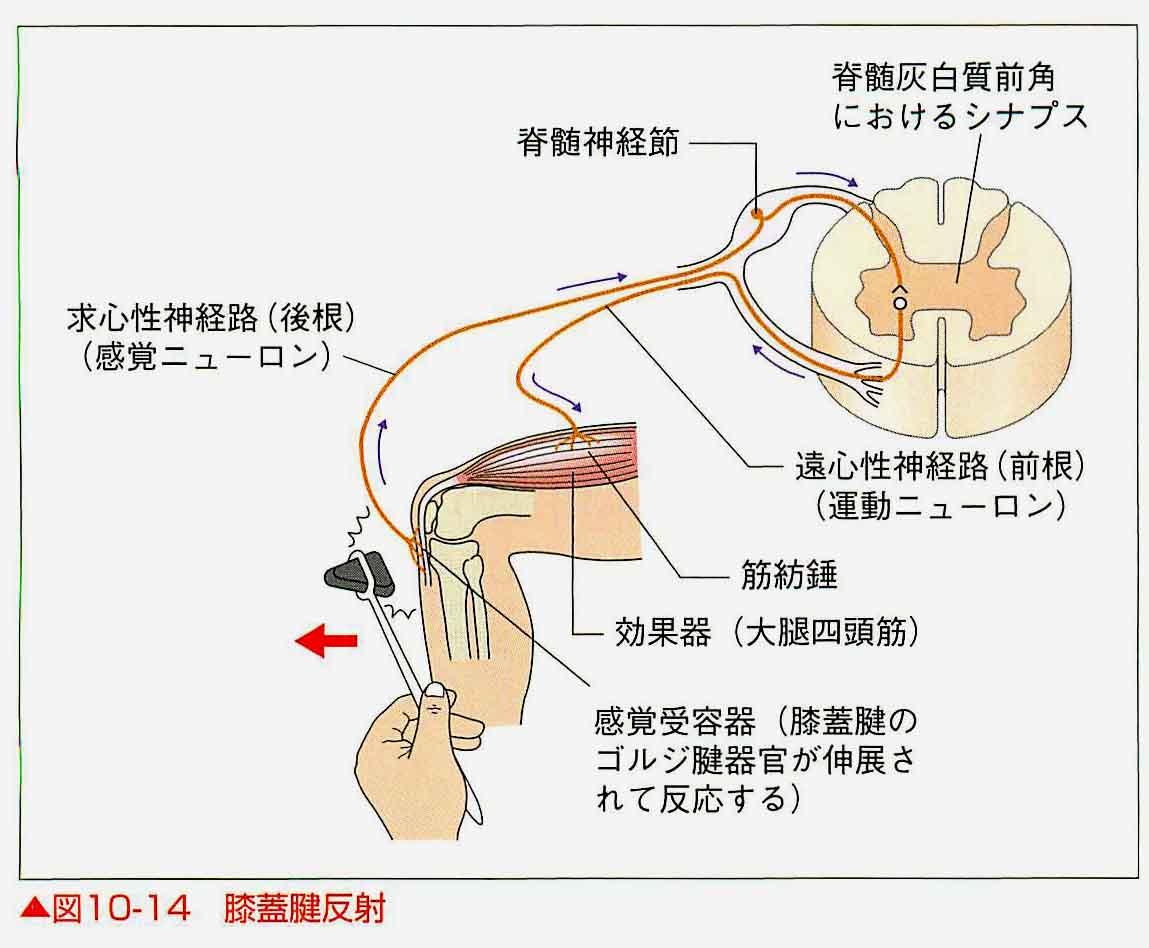 反射 評価 腱 小児神経学的検査チャート作成の手引き|一般社団法人 日本小児神経学会