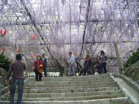 唐津城の藤棚