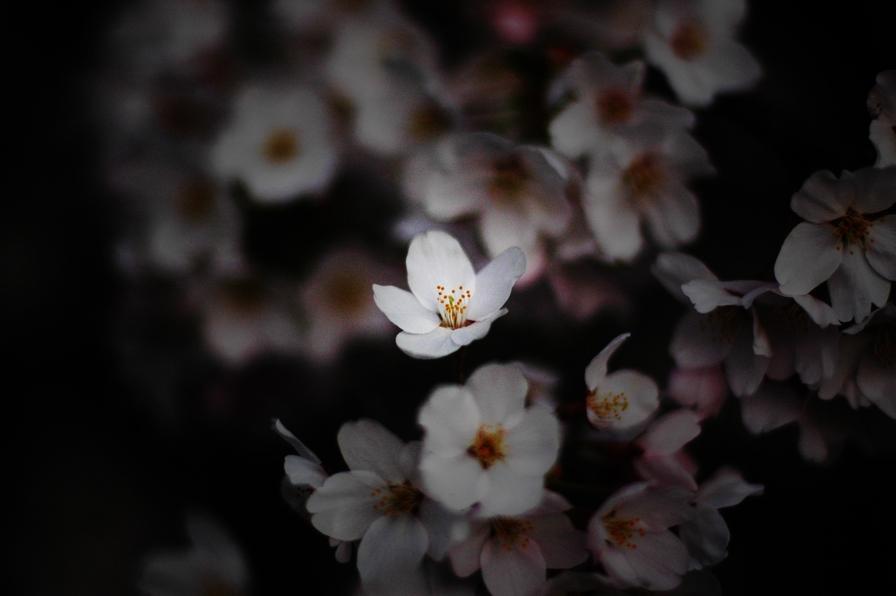 佐渡金山の桜