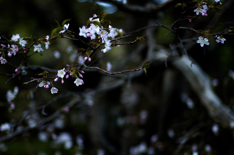 妙見の桜2