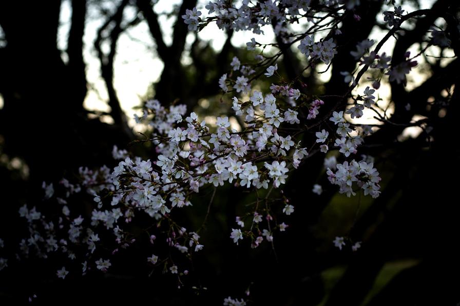 妙見の桜3