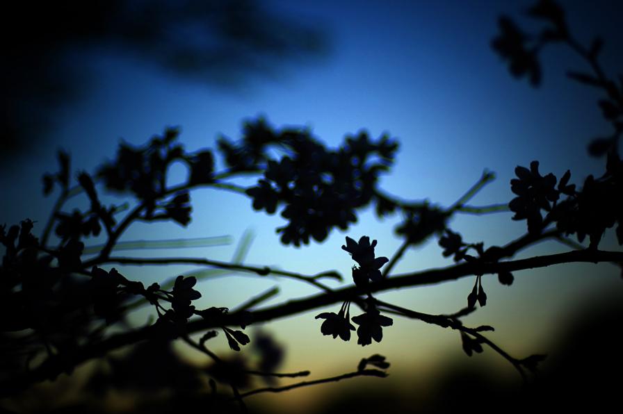 妙見の桜4