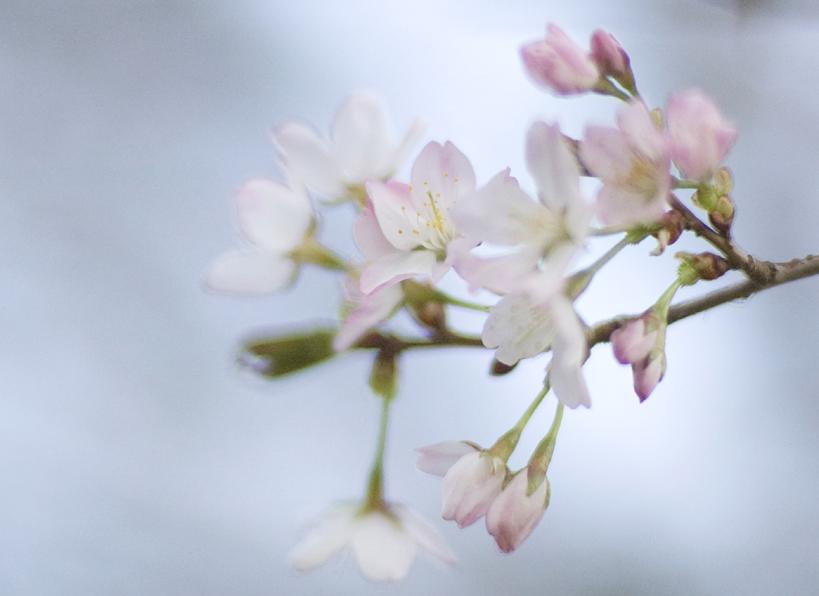 妙見の桜5